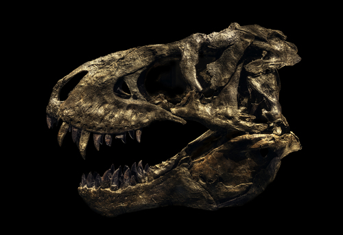 Tyrannosaurus Rex Tristan